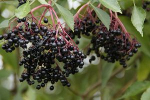jarabe de saúco-negro