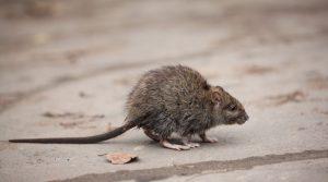 rat-jardín-alejarse