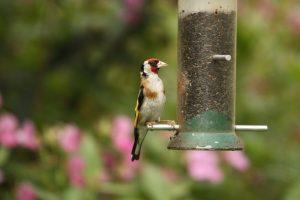 jilgueros-alimentador de pájaros