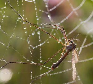 depredador de mosquitos