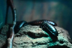 cucaracha-tierra-diatomeu