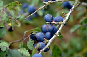 hedge-champeta-prunelier